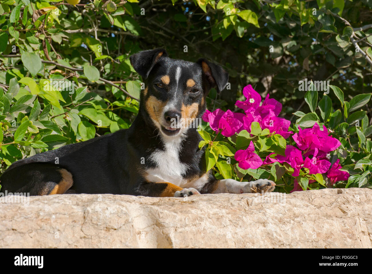 adorable smiling old doxie-pin dog posed on a rock in front of a magenta Bougainvillea bush - Stock Image