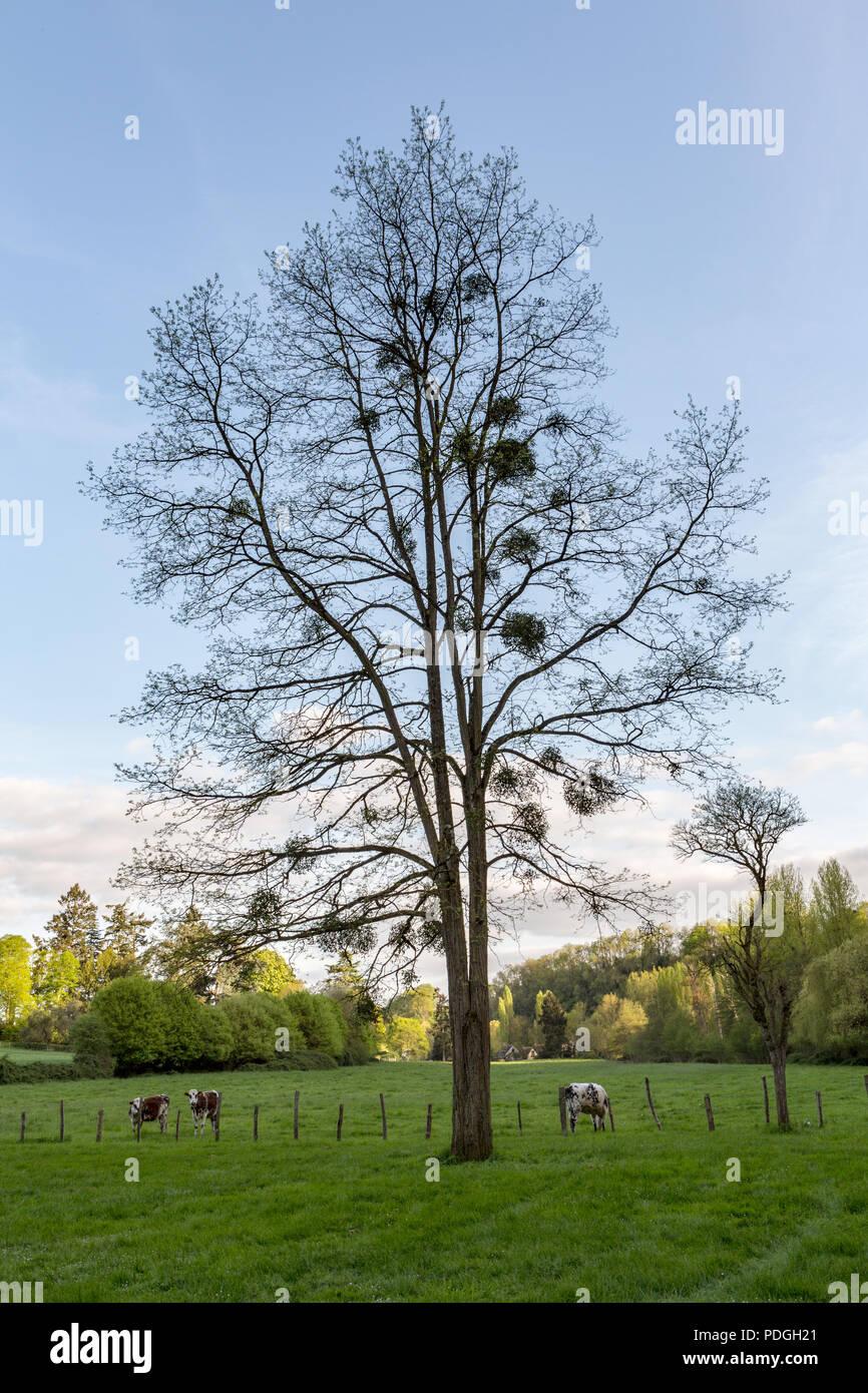 Mistletoe (Viscum album) an obligate stem hemiparasite on trees in early spring. - Stock Image