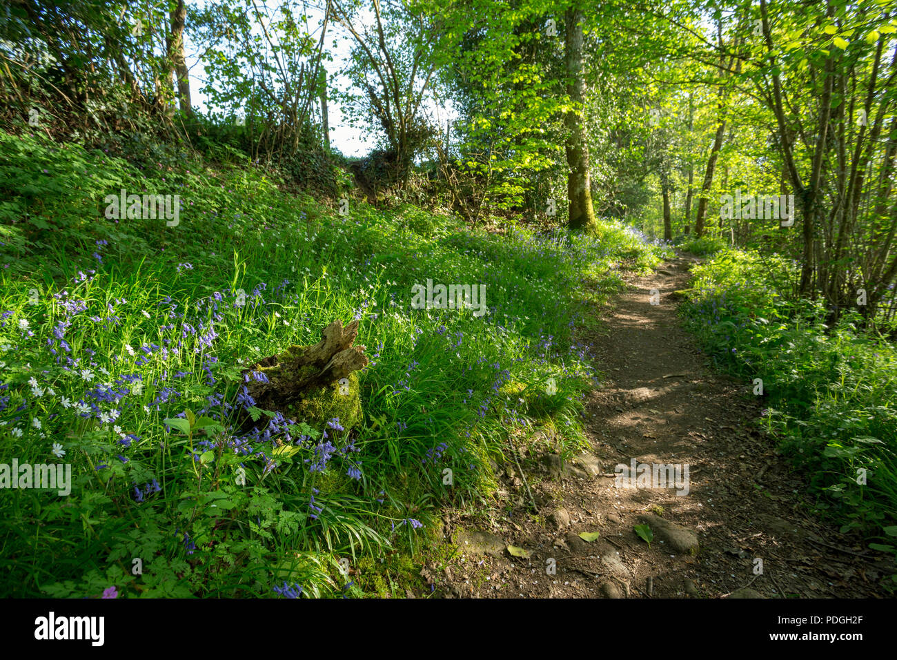 Flowering Bluebells along a hiking or mtb trail through a green spring forest. - Stock Image