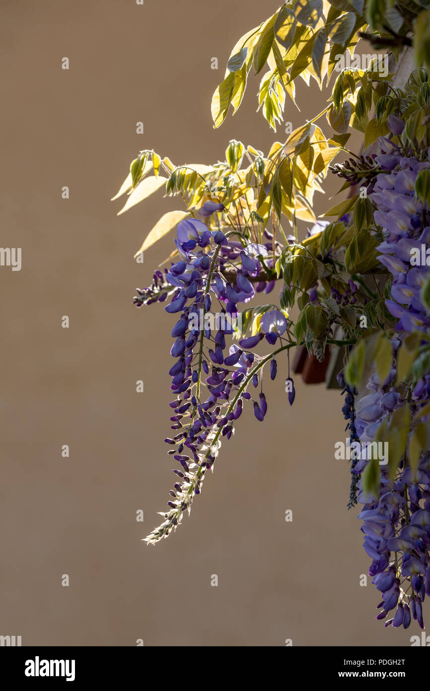 Purple flowering Wisterias - Fabaceae, backlit by the spring sun. - Stock Image