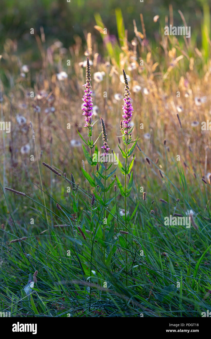 A flowering Purple loosestrife, spiked loosestrife, or purple lythrum - Lythrum salicaria. - Stock Image