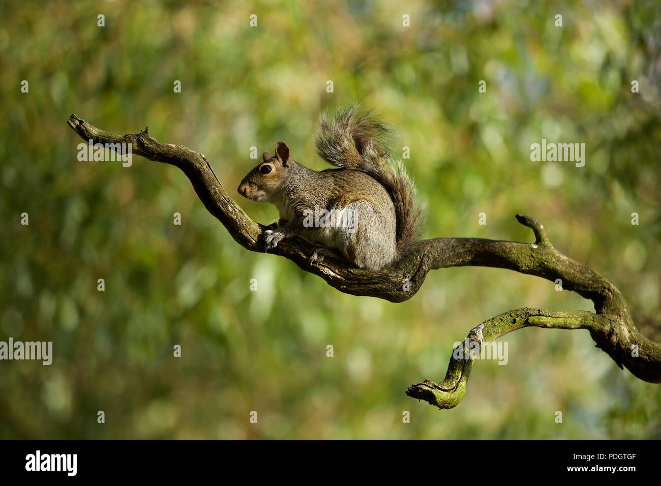 Grey Squirrel caught in the open on this Gnarled tree branch - Stock Image