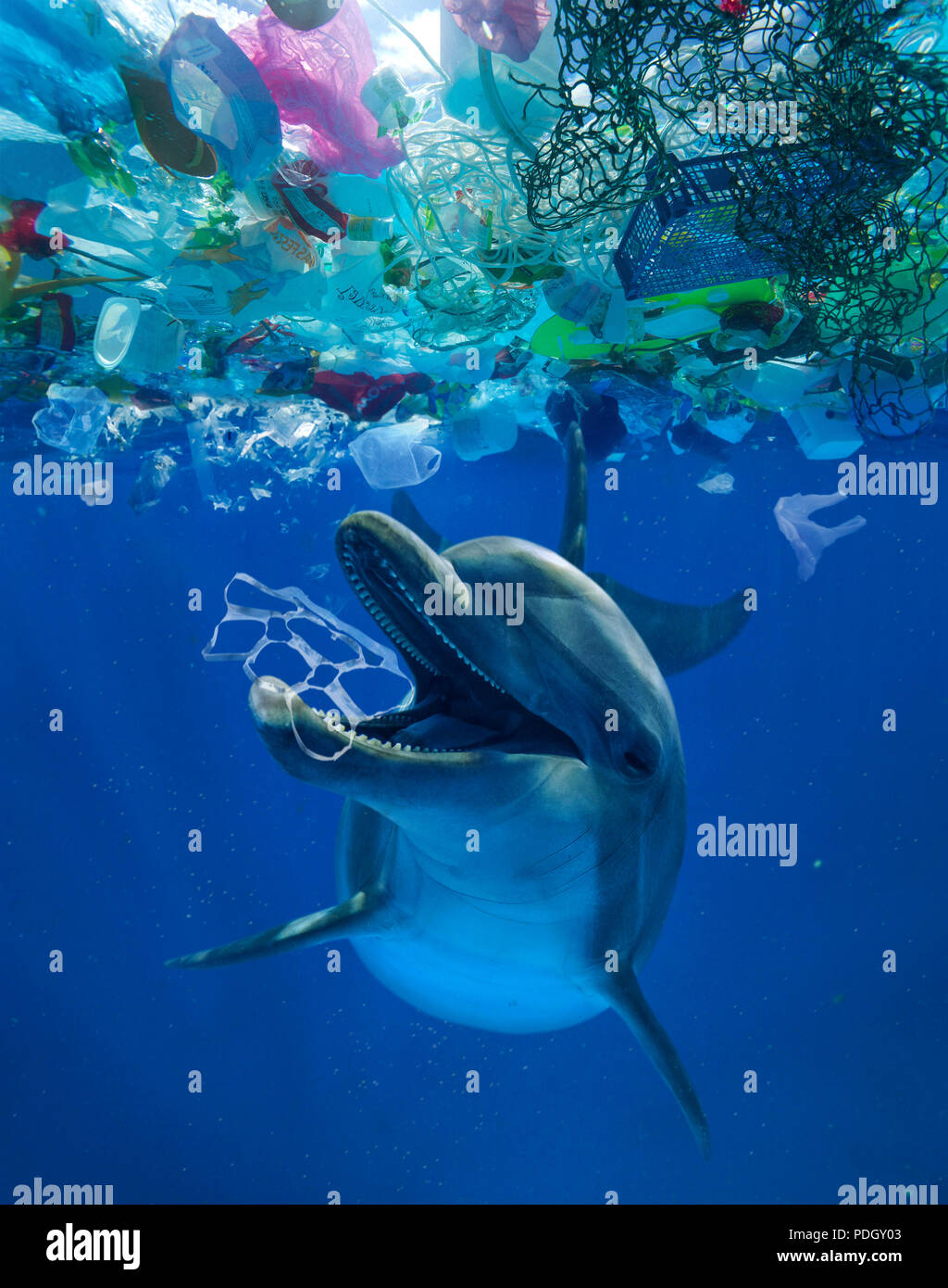 Common bottlenose dolphin playing with a six pack rings found in the middle of a great patch of floating plastic garbage. Eating plastic. - Stock Image