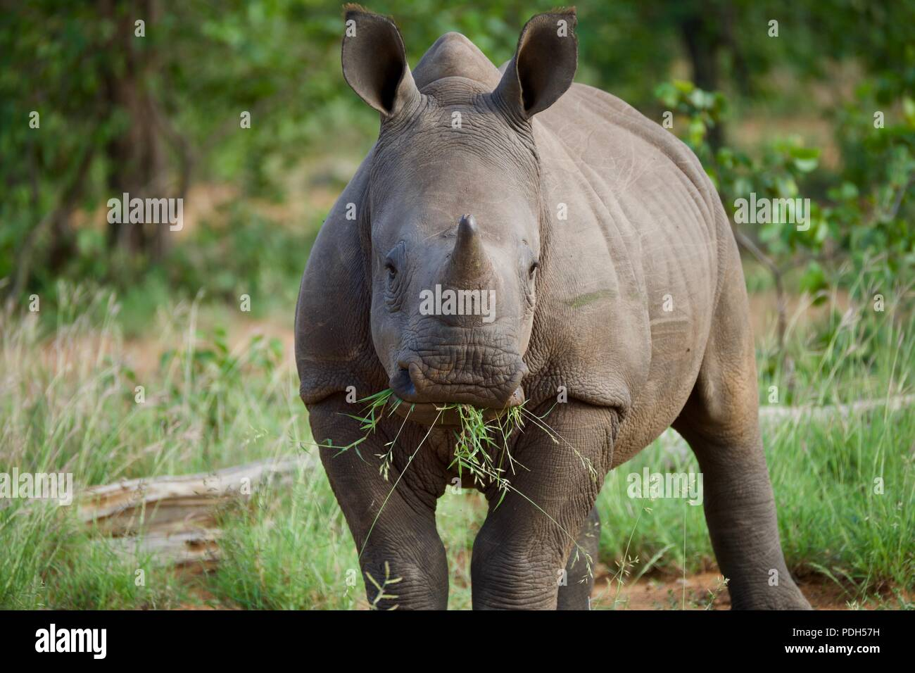 Baby white rhino chewing on grass Stock Photo