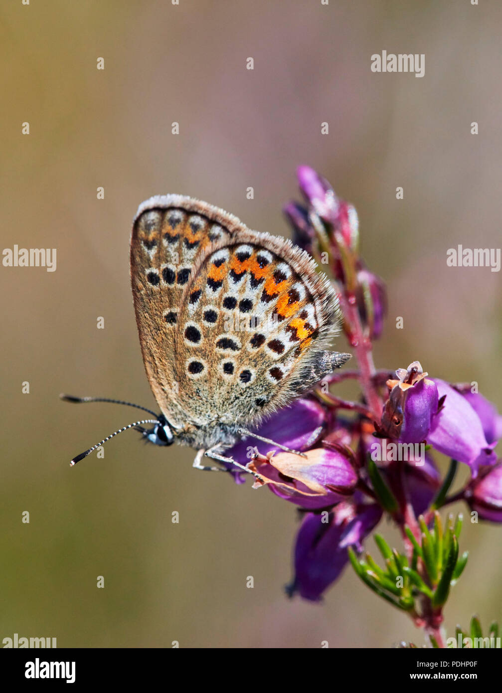 Silver-studded Blue female perched on Bell Heather. Fairmile Common, Esher, Surrey, England. - Stock Image