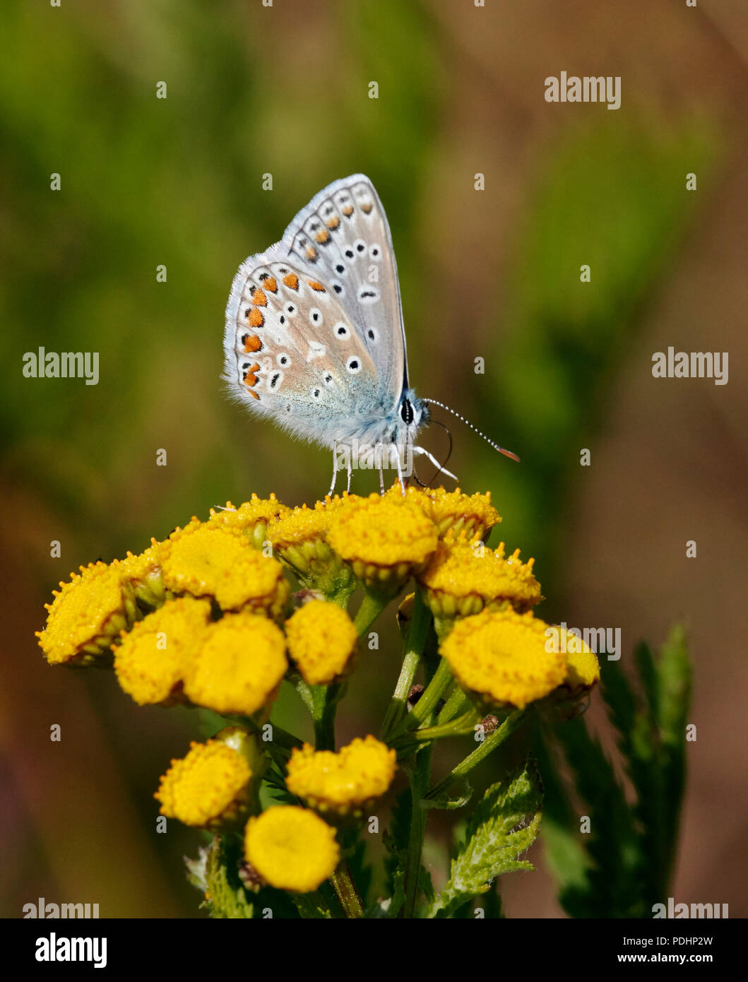 Common Blue male nectaring on Tansy. Hurst Meadows, East Molesey, Surrey, England. - Stock Image