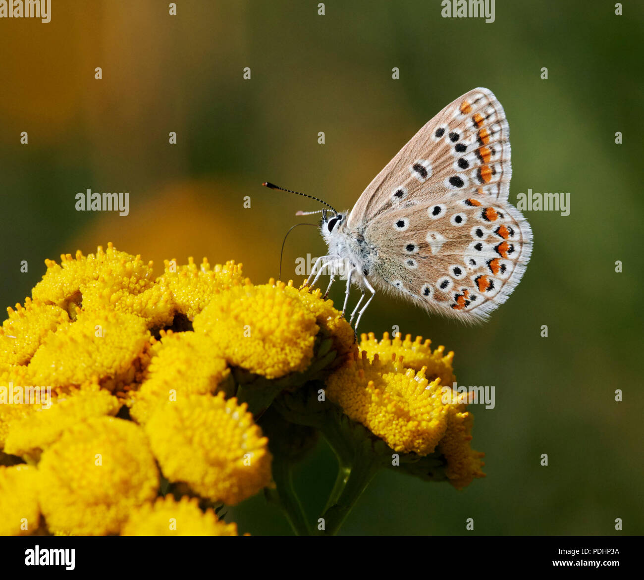 Common Blue female nectaring on Tansy. Hurst Meadows, East Molesey, Surrey, England. - Stock Image
