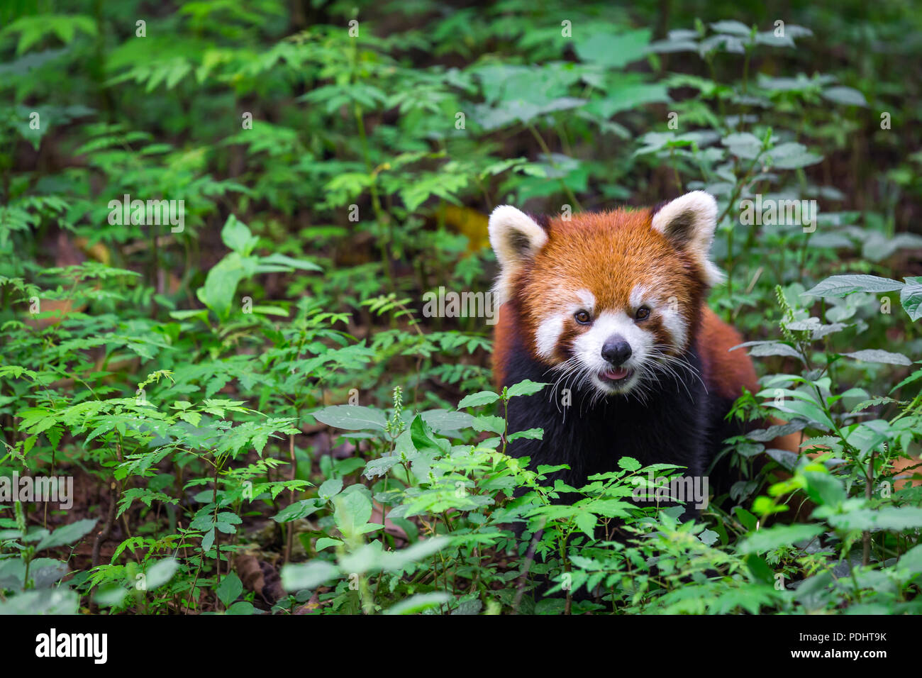 Portrait of a Red Panda , Ailurus fulgens , fire fox surrounded by plants - Stock Image