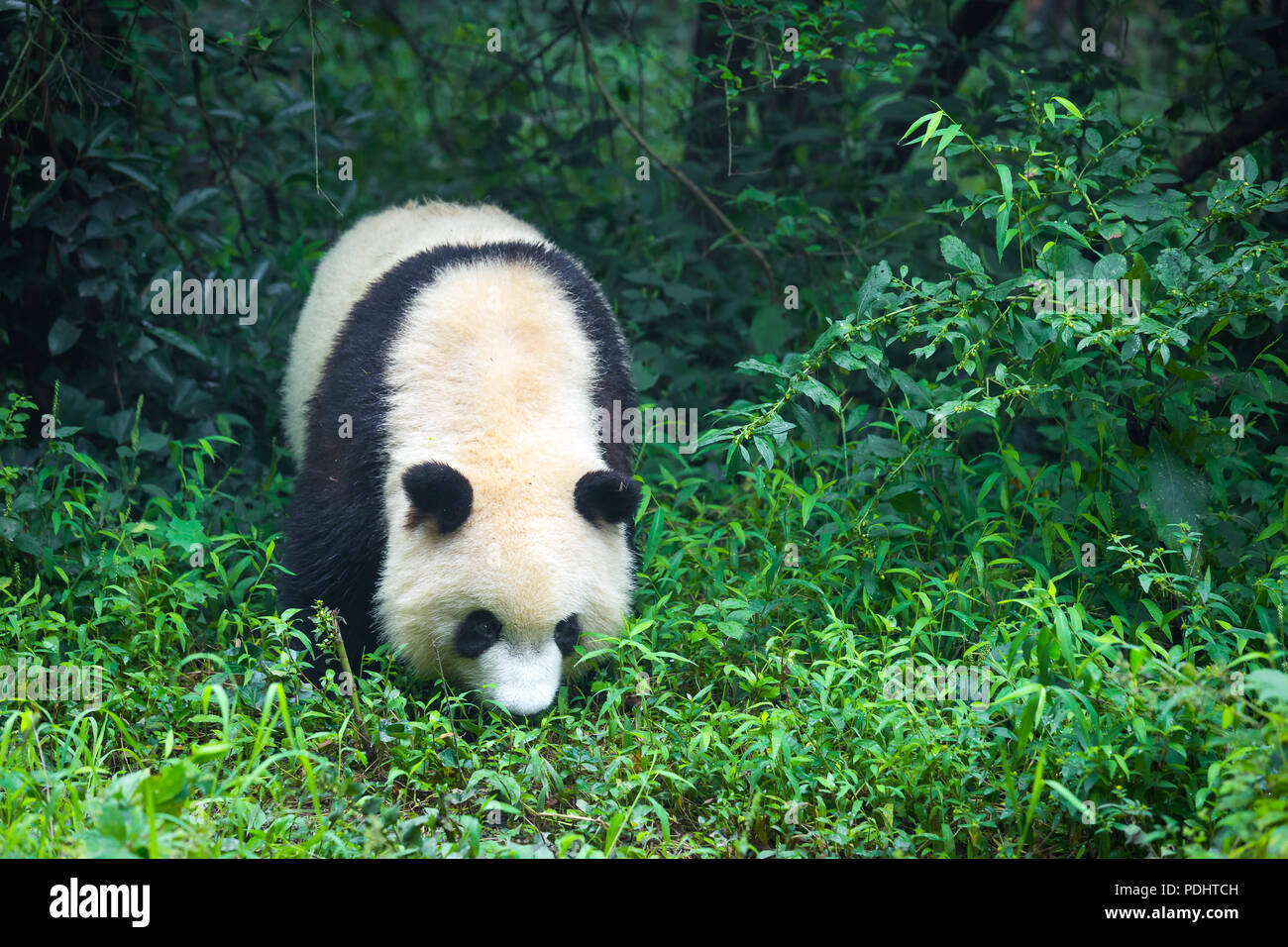 One adult giant panda walking in the forest in China - Stock Image