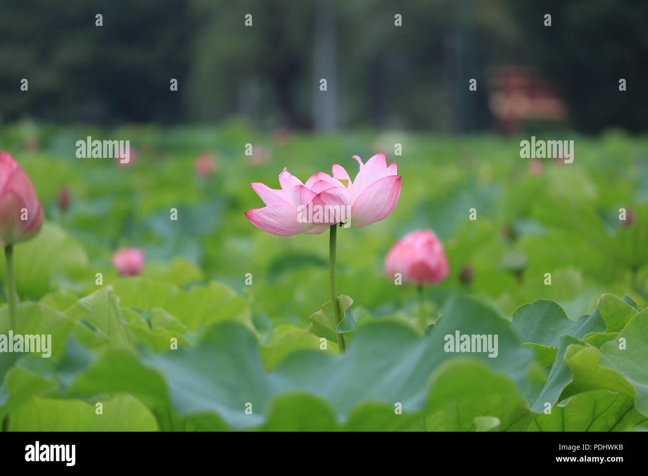Lotus Flowers In The Lotus Pond Of Shinobazu Pond Ueno Park Japan