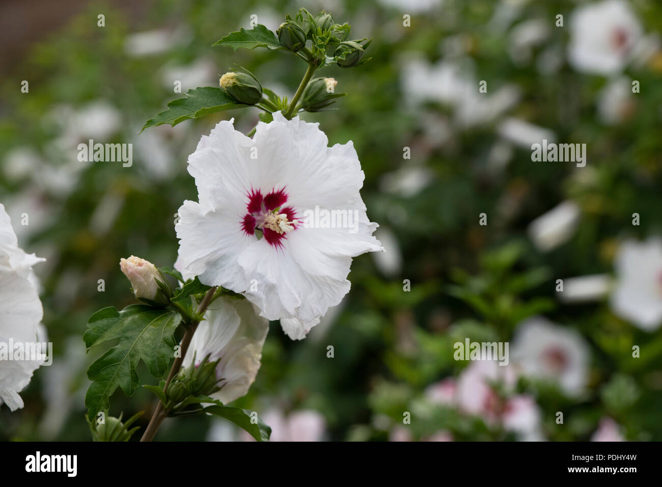 Rose Of Sharon Red Heart Stock Photos Rose Of Sharon Red Heart