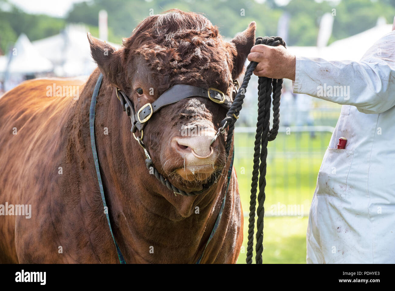 Bos taurus. Red poll bull on show at the 2018 Royal Three Counties Show. Malvern, Worcestershire, UK - Stock Image