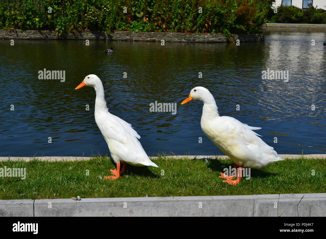 Two Ducks Beside a Lake - Stock Image