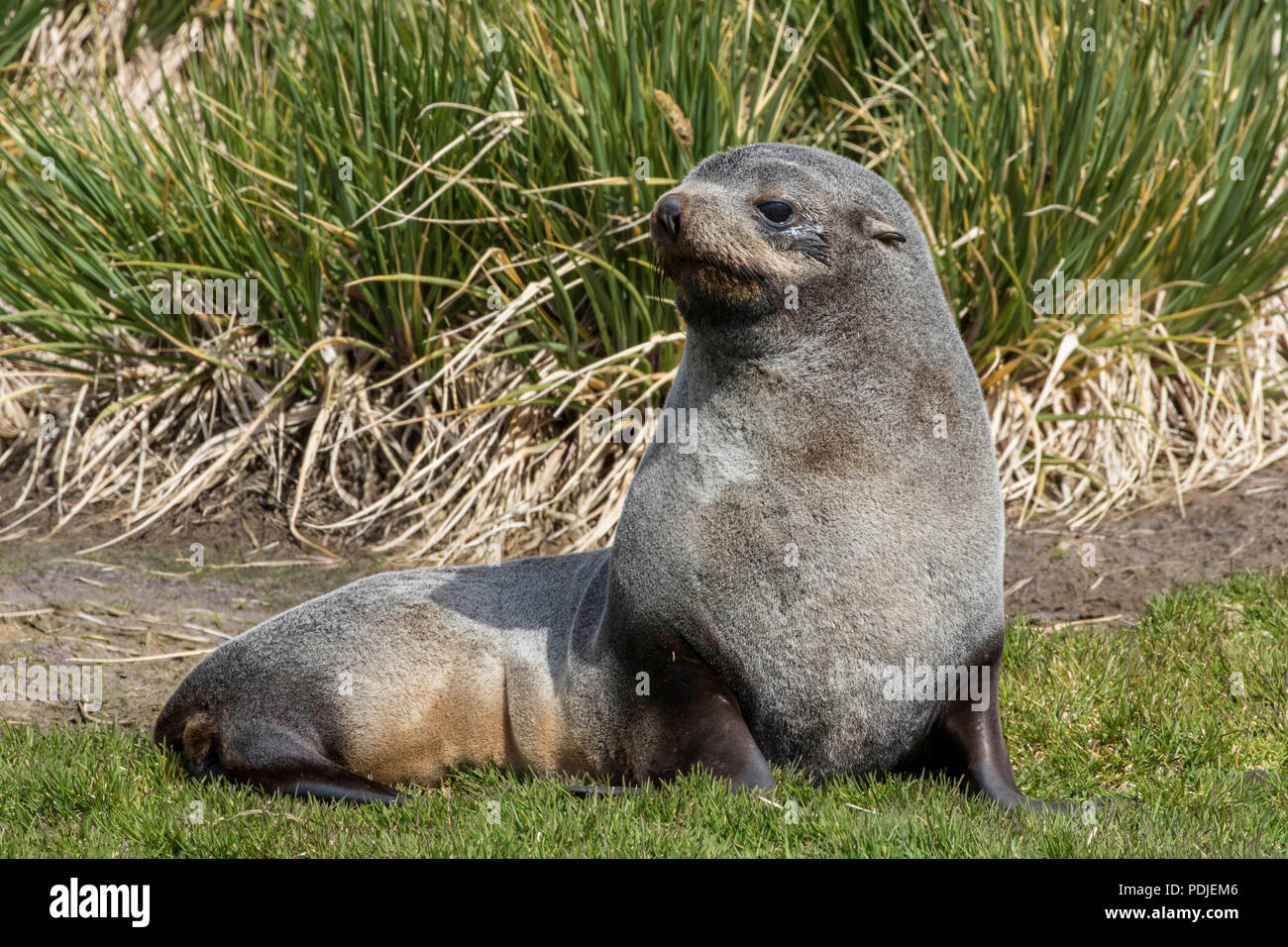 Southern fur seal on the south Georgia islands - Stock Image