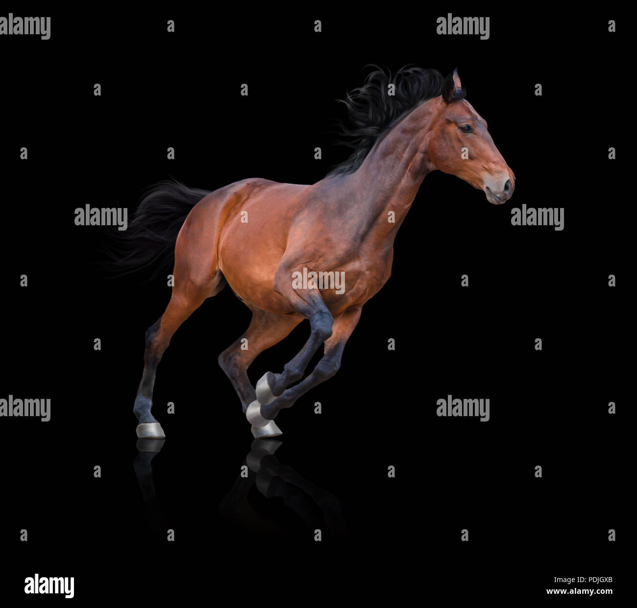 Bay horse runs on the black background - Stock Image