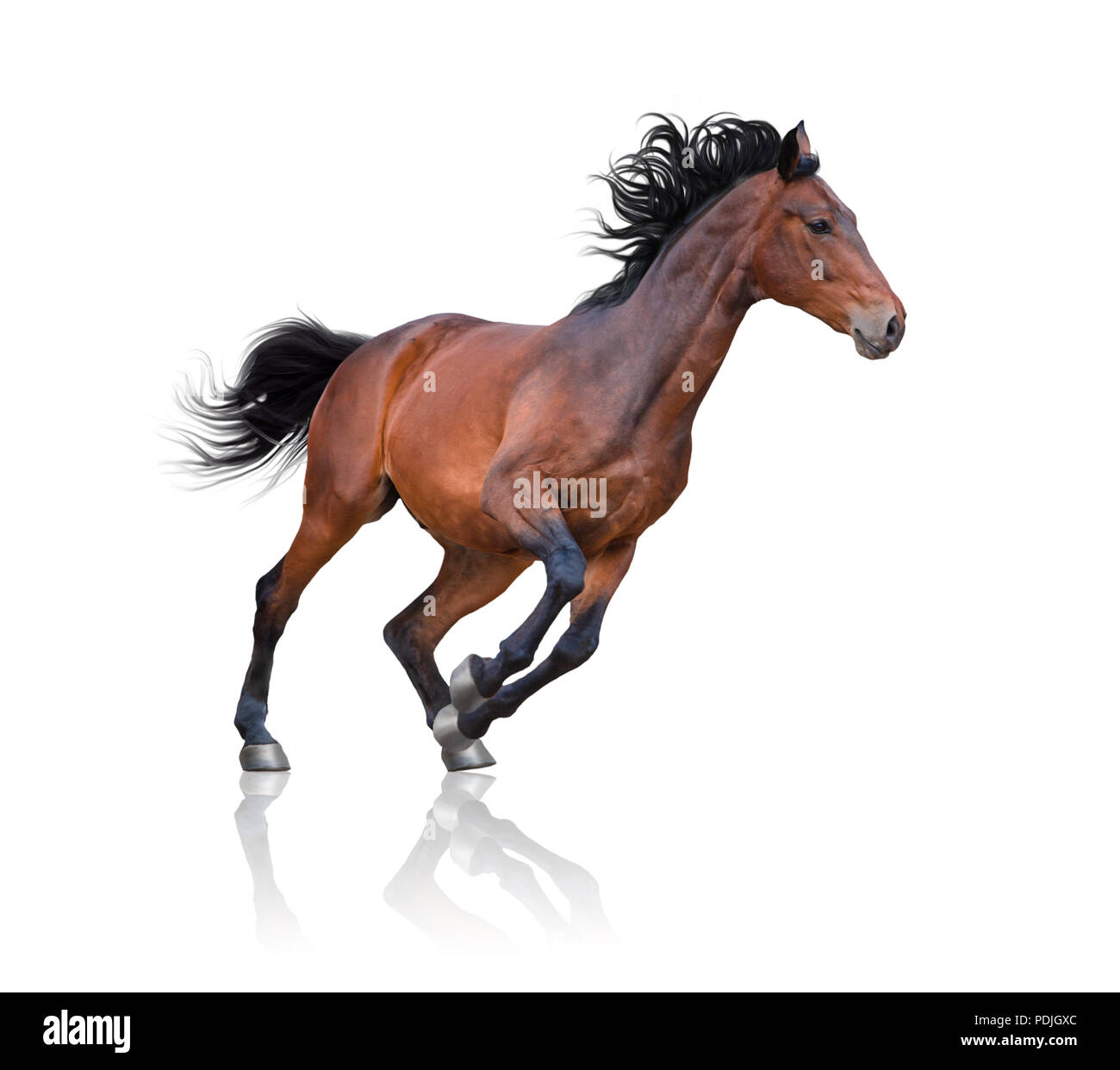 Bay horse runs on the white background - Stock Image
