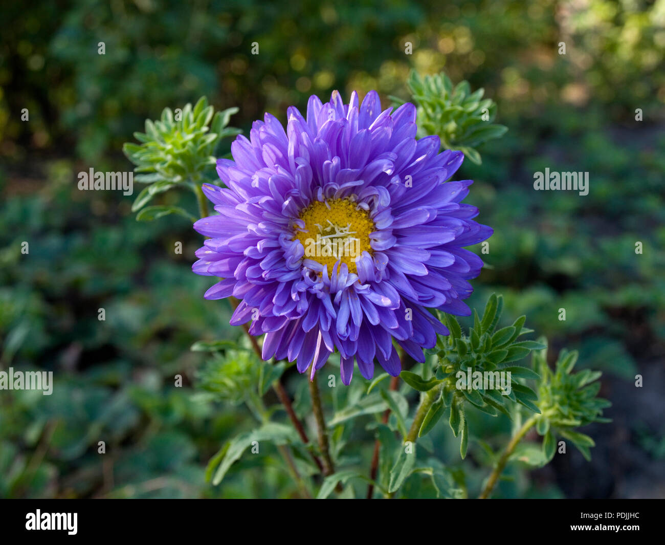 Blue Aster Flower Stock Photo 214924680 Alamy