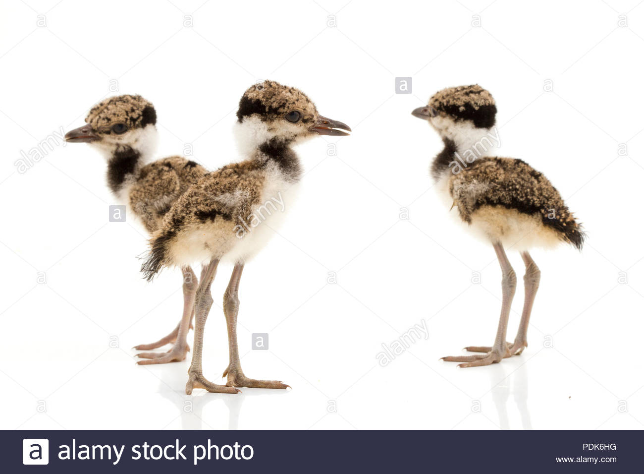 Red wattled lapwing kids. Typical indian bird - Stock Image