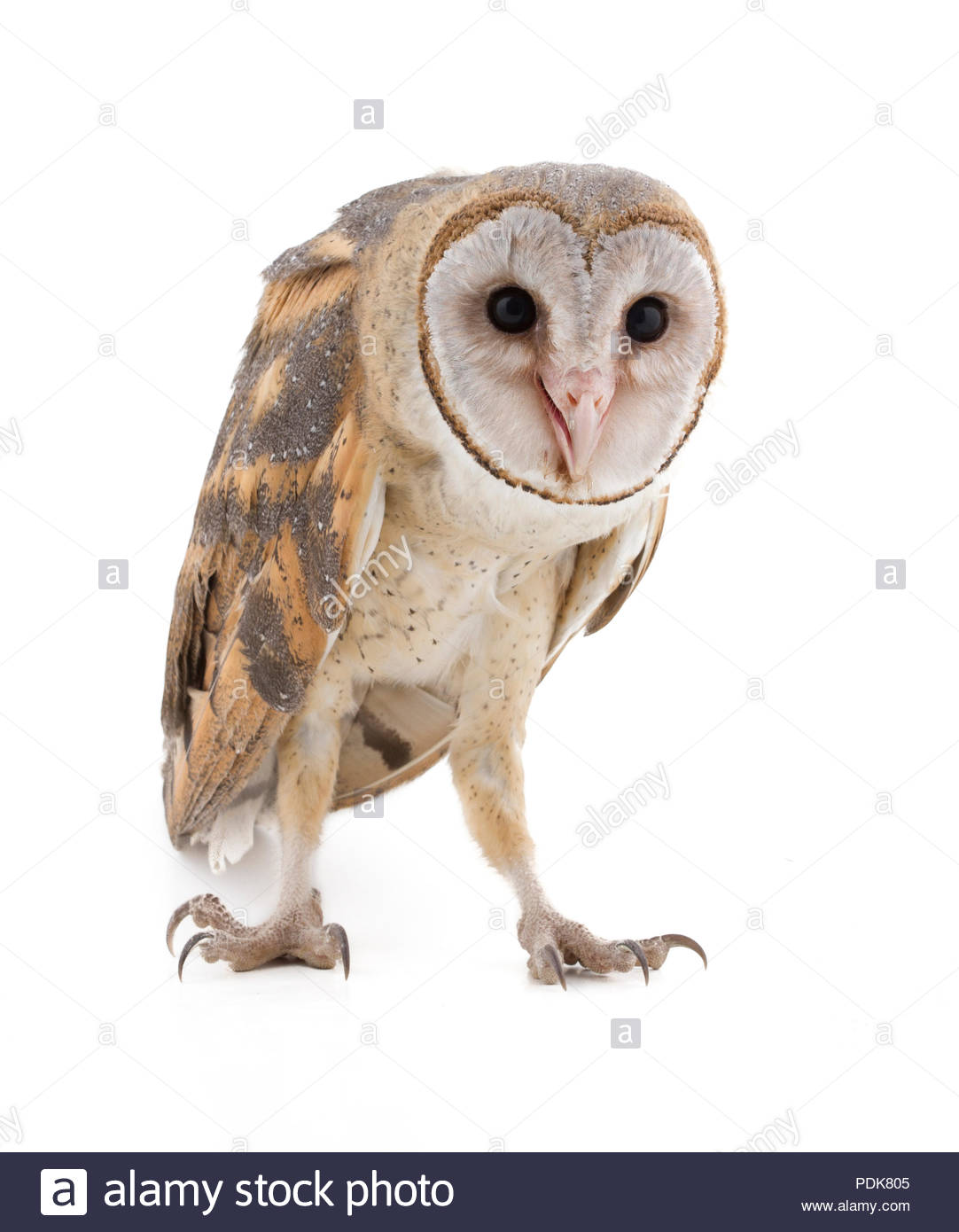 Young Indian Scops Owl, Otus bakkamoena, in front of white background - Stock Image