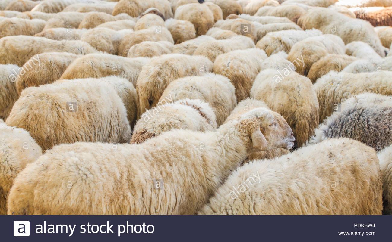 Group of Sheep Animal - Stock Image