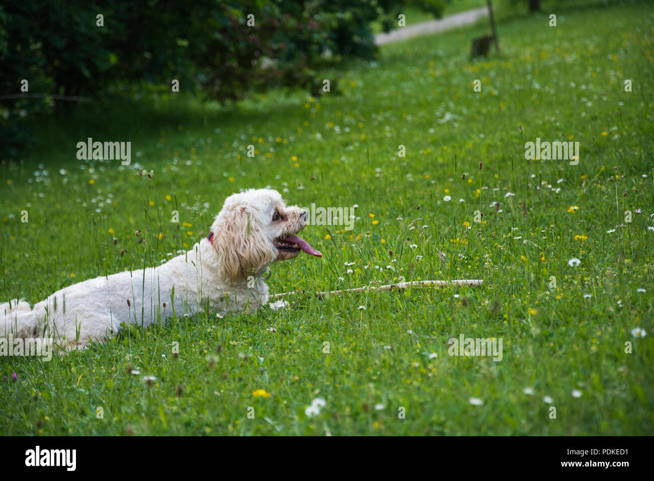 A Cavachon (Canis lupus familiaris) panting and resting outdoors after chasing a stick. - Stock Image