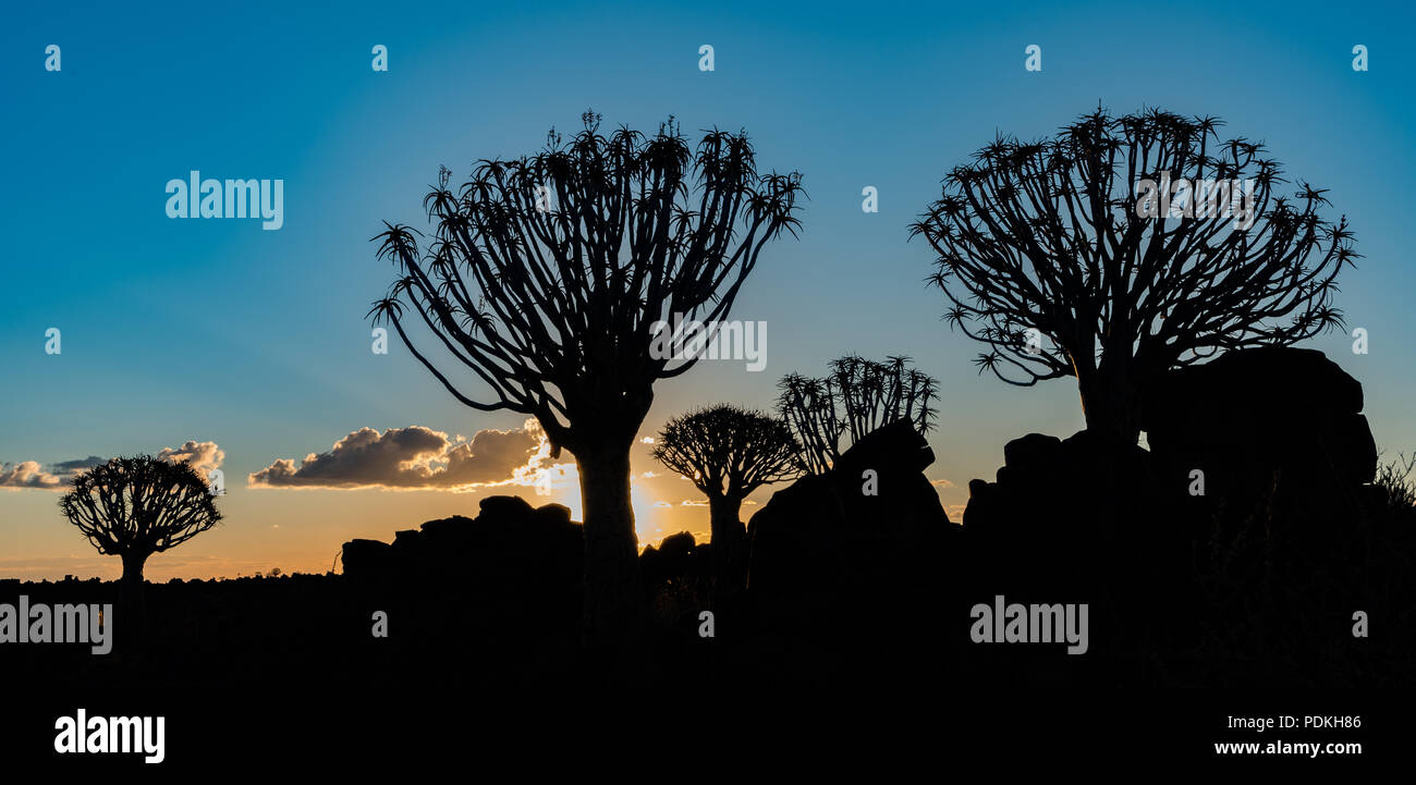 Quivertrees are unique to the deserts of Namibia - Stock Image