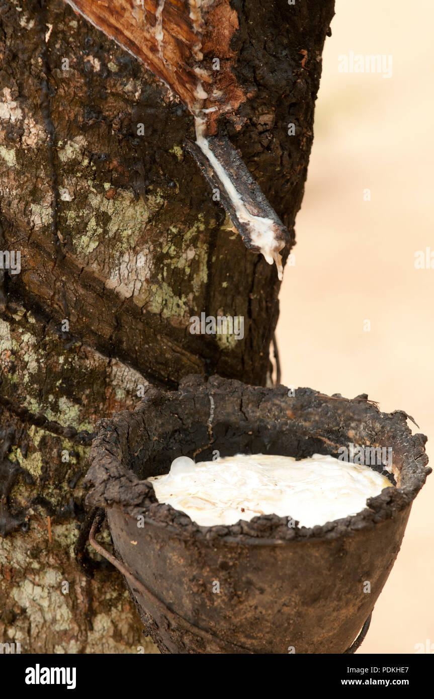 Harvest rubber - Hevea brasiliensis - Thailand - Récolte du latex sur hévéa - Stock Image