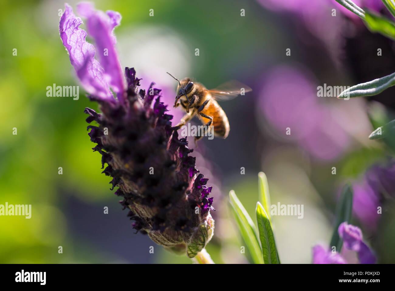 Bee landing on lavender flower, Australia, close up view - Stock Image