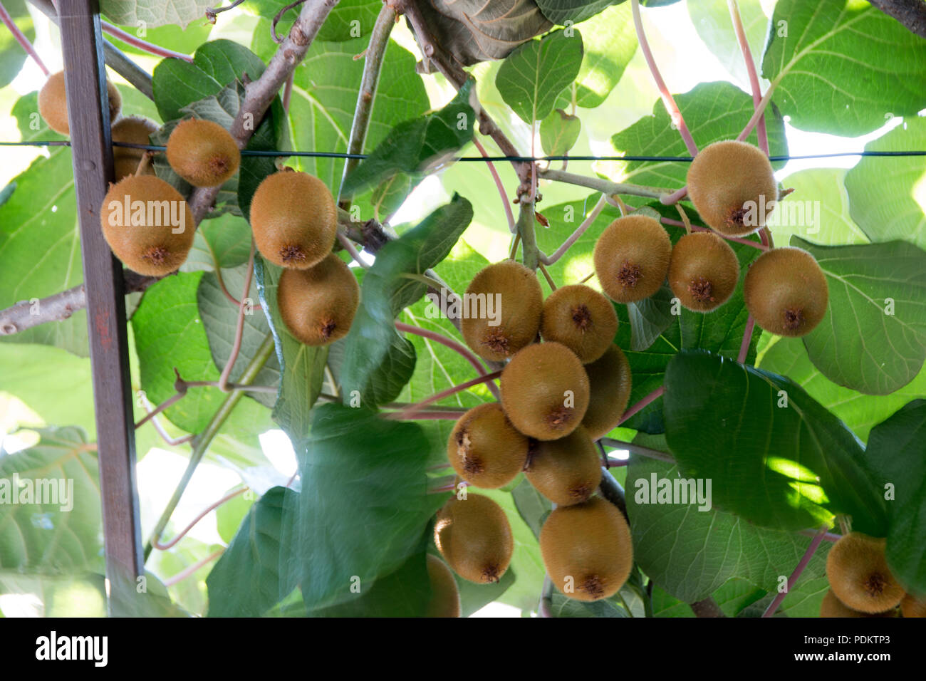 Green kiwis ripen on a tree. Kiwis on a branch. Healthy. Rich in vitamins. - Stock Image