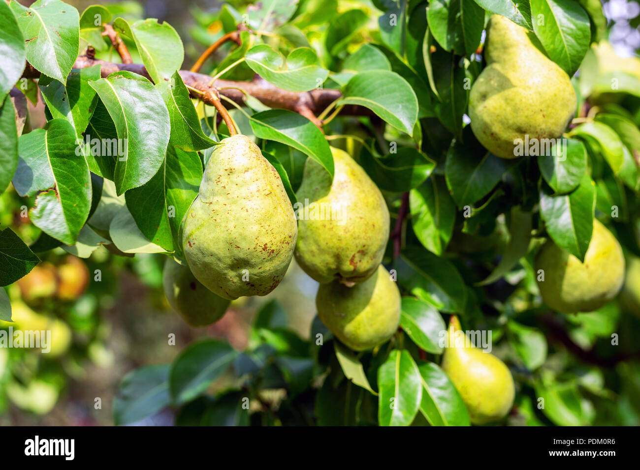 Many big ripe tasty juicy pears growing on tree in orchard. Healthy organic bio fruit natural background. Harvest season concept Stock Photo
