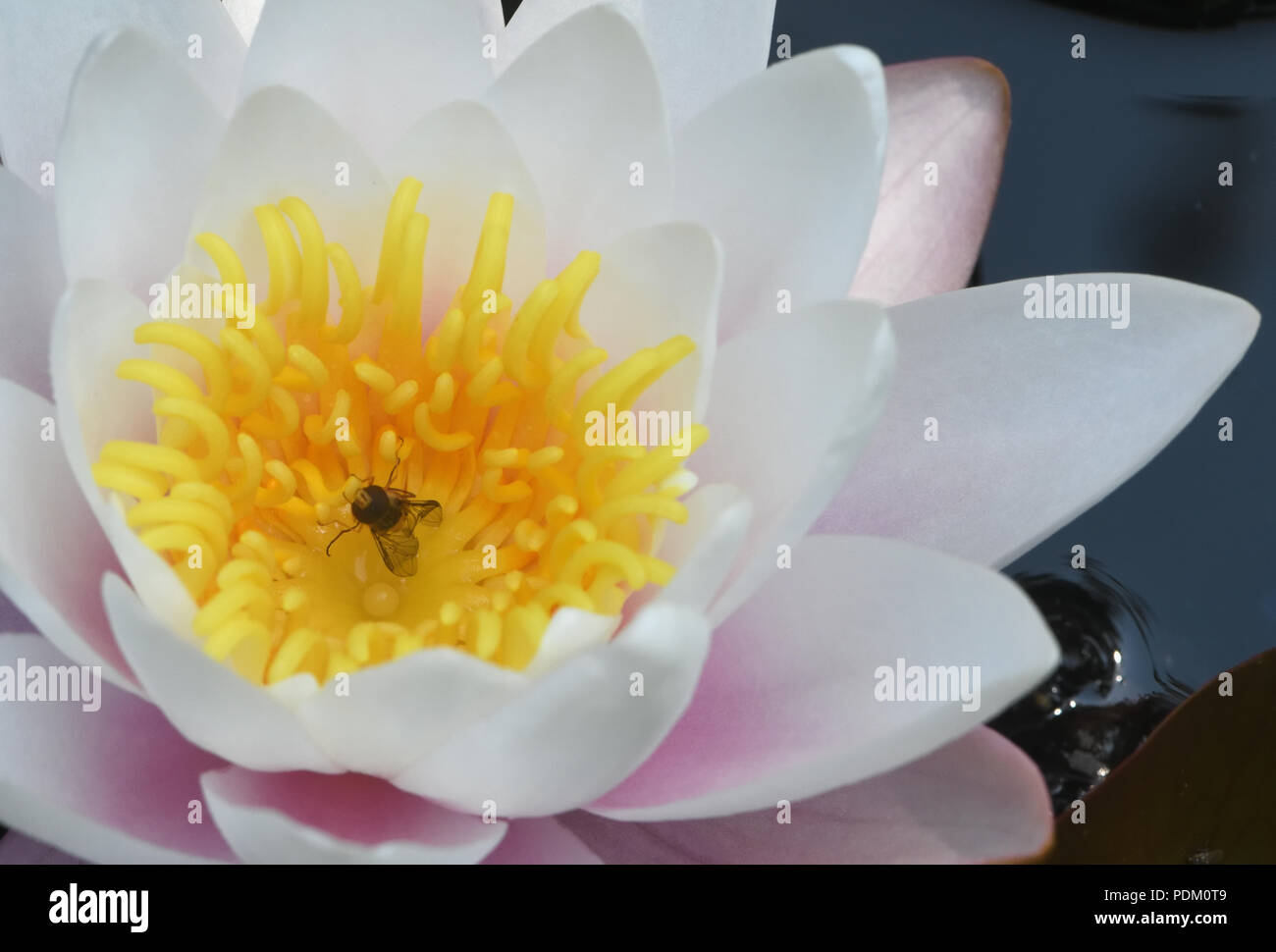 A  hoverfly in a white waterlily (Nymphaea alba) ) after drinking the nectar at the base of the flower. Bedgebury For - Stock Image
