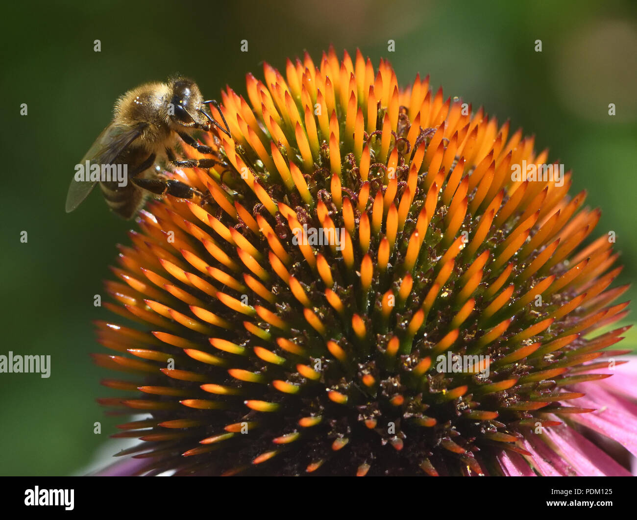 A honey bee (Apis mellifera) forages for nectar and pollen on an echinacea or coneflower (Echinacea purpura).  Bedgebury Forest, Hawkhurst, Kent, UK. - Stock Image