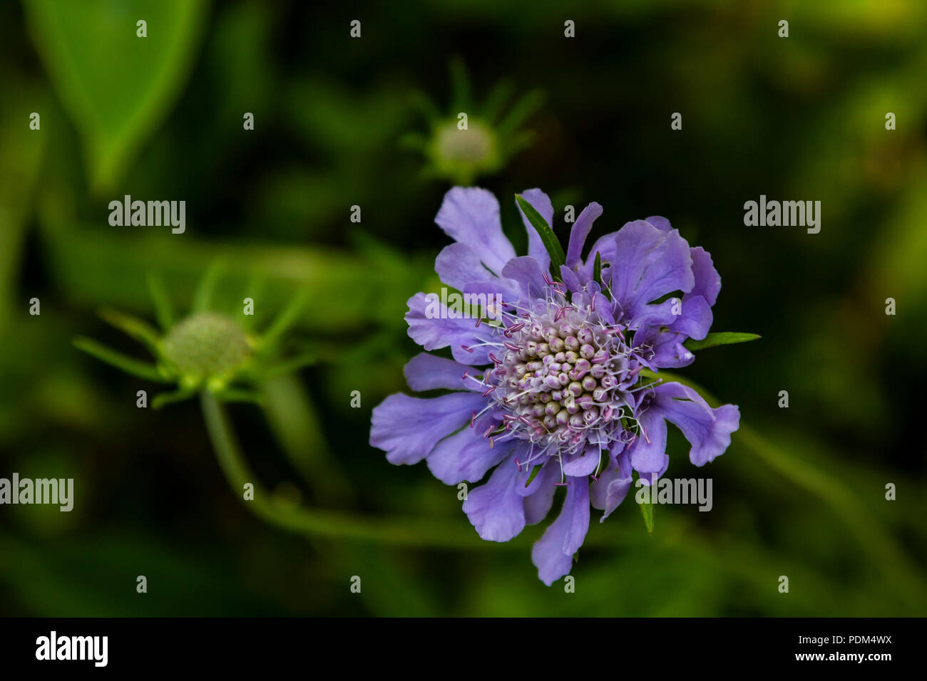 Scabiosa is a genus in the Caprifoliaceae or honeysuckle family. Scabiosa flowers earned the nickname pincushion flower because of their prominent sta - Stock Image