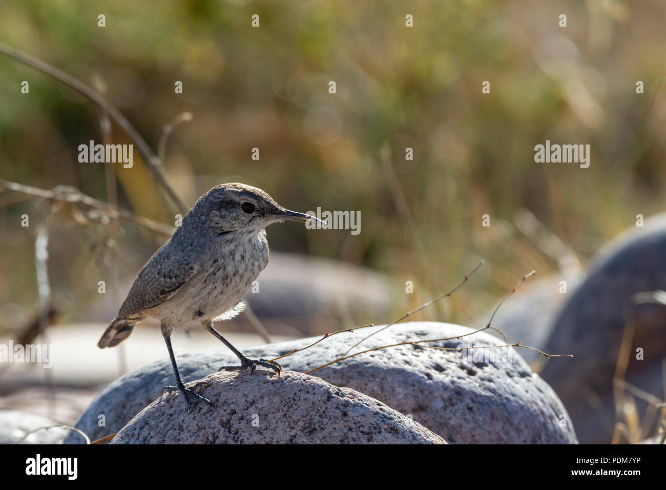 Rock Wren, Pawnee Buttes National Grassland, Colorado US. Photo taken in September. - Stock Image