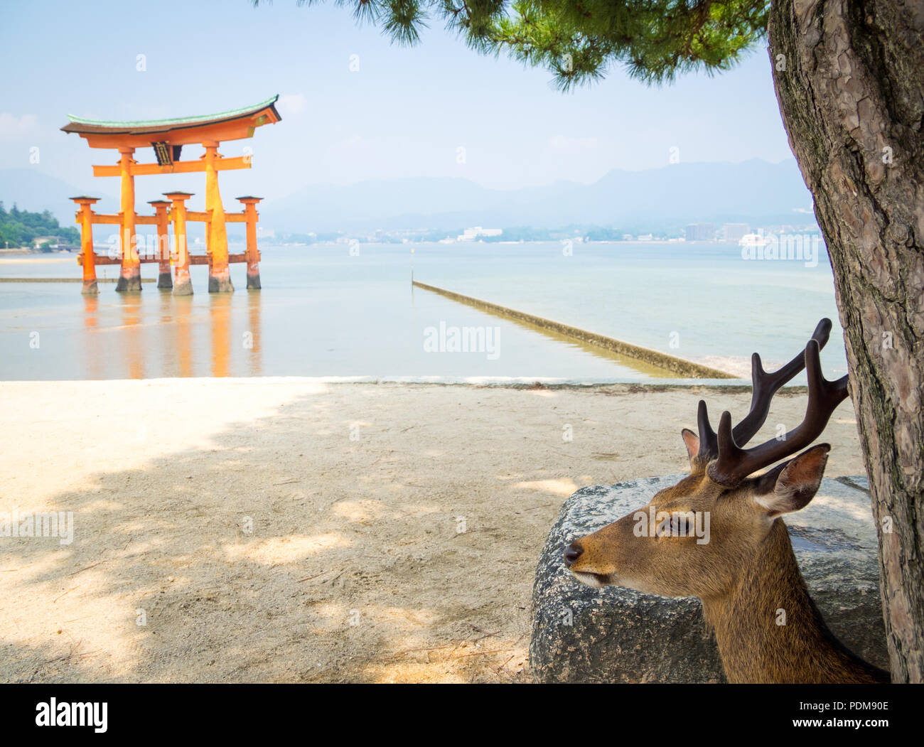 A male sika deer (Cervus nippon) in front of the floating torii gate at Itsukushima Shrine on the island of Miyajima, Hiroshima Prefecture, Japan. - Stock Image