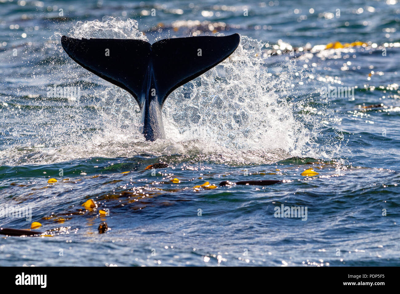 Northern resident killer whale spalshing with fluke near Lizard Point, Malcolm Island,  Vancouver Island, British Columbia, Canada - Stock Image