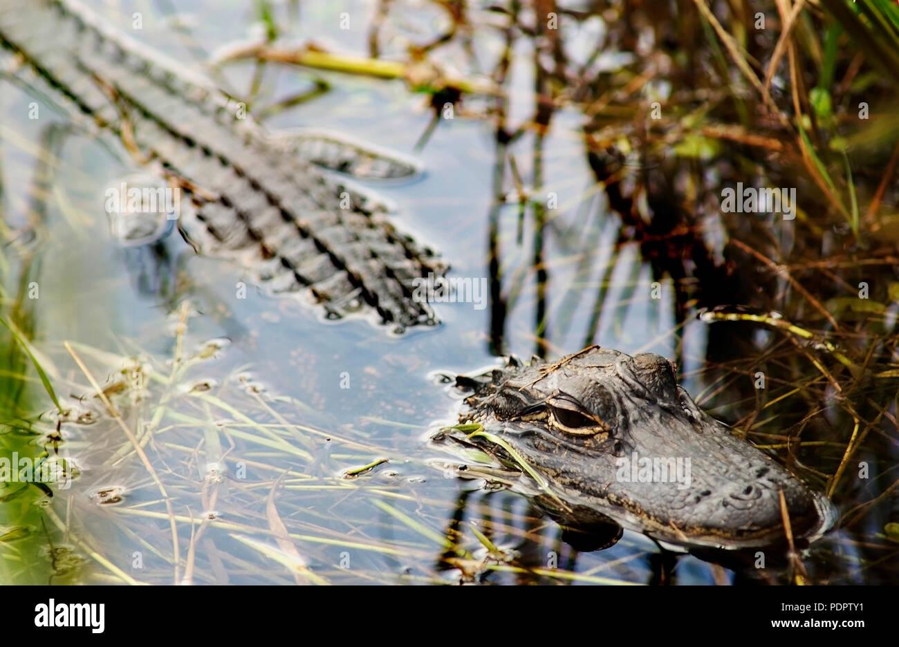 Alligator half submerged in swamp - Stock Image