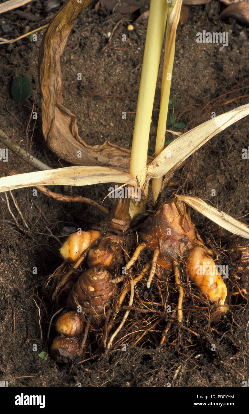 Turmeric (Curcuma longa). Plants are gathered annually for their rhizomes shown here.Rhizomes are dried and ground into powder. - Stock Image
