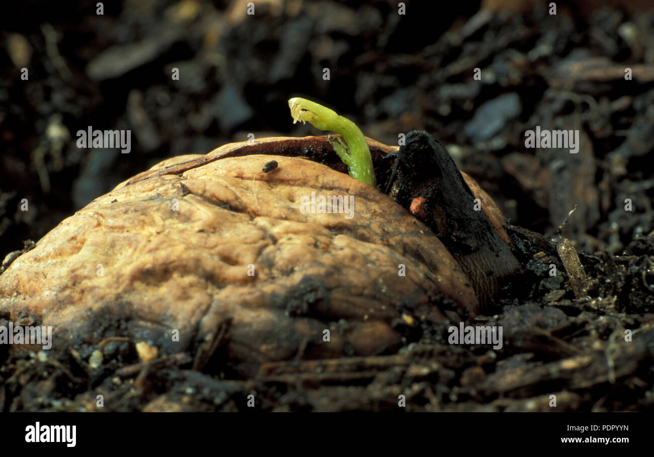 WALNUT SEEDLING (JUGLANS REGIA) EMERGING FROM NUT, JUGLANDACEAE. ALSO KNOWN AS PERSIAN, ENGLISH OR CALIFORNIA WALNUT - Stock Image