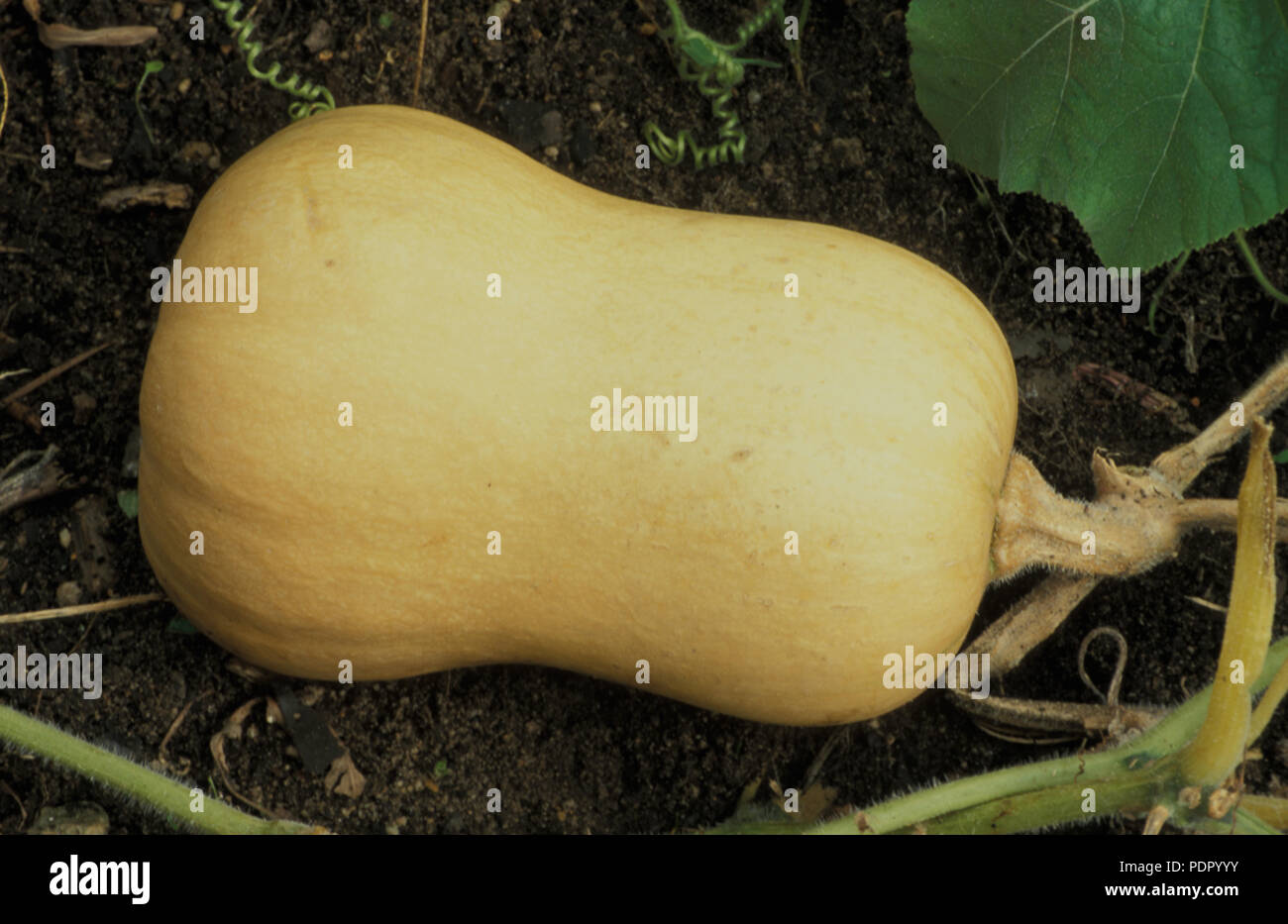 BUTTERNUT PUMPKINS GROWING (CUCURBITA MOSCHATA) ALSO KNOWN AS BUTTERNUT SQUASH. CUCURBITACEAE - Stock Image