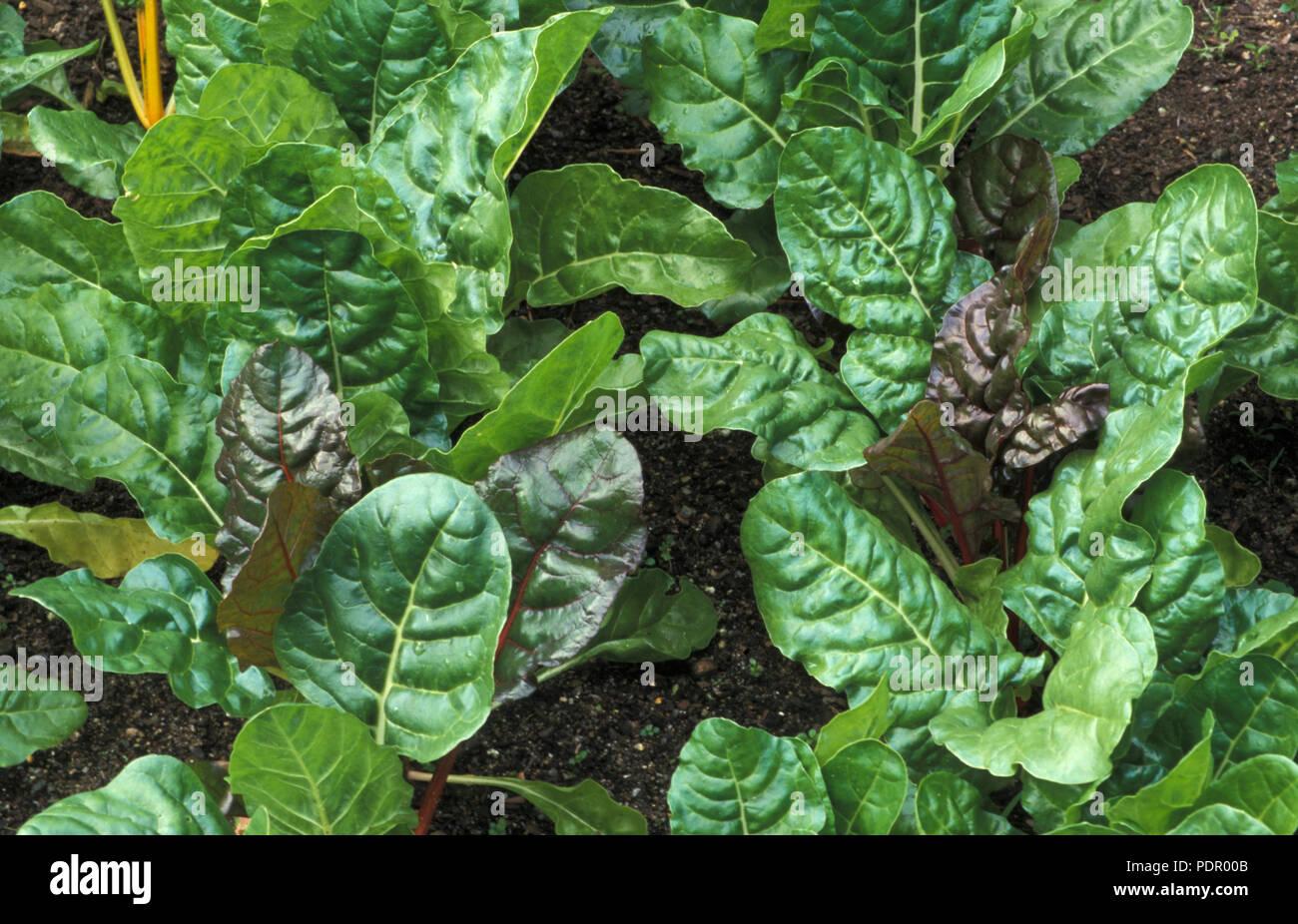 RAINBOW CHARD (SILVERBEET) BETA VULGARIS SSP. CICLA. GROWING - Stock Image