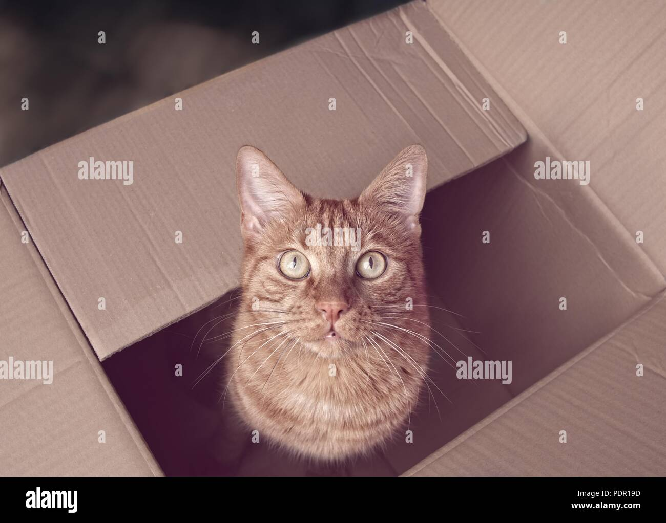 Cute ginger cat sitting in a cardboard box and looking up to the camera. - Stock Image