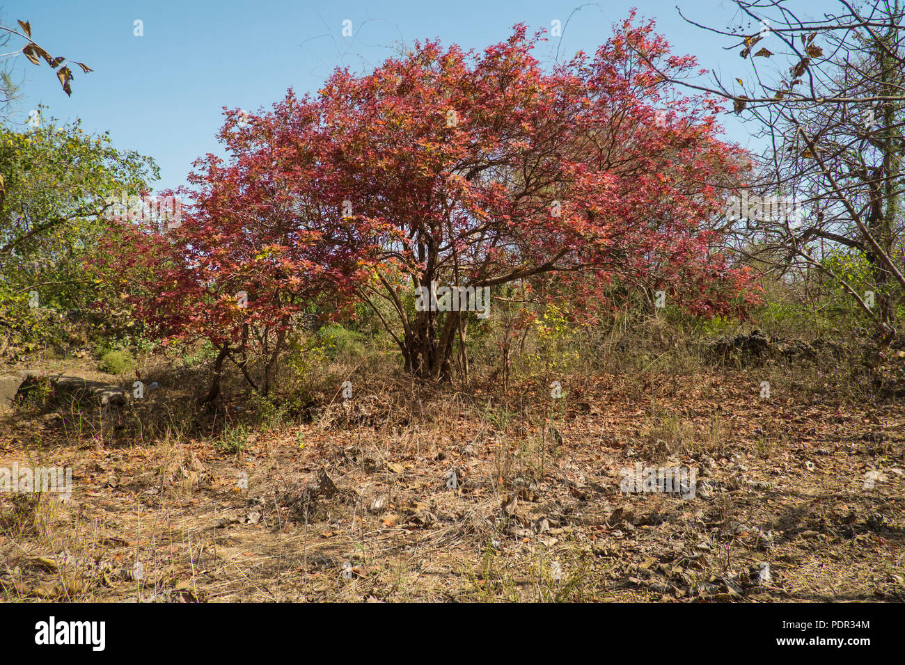 As spring comes to an end, a tree has shed its chlorophyll, making its leaves red. Soon these leaves will be shed to survive the hot dry summers. - Stock Image