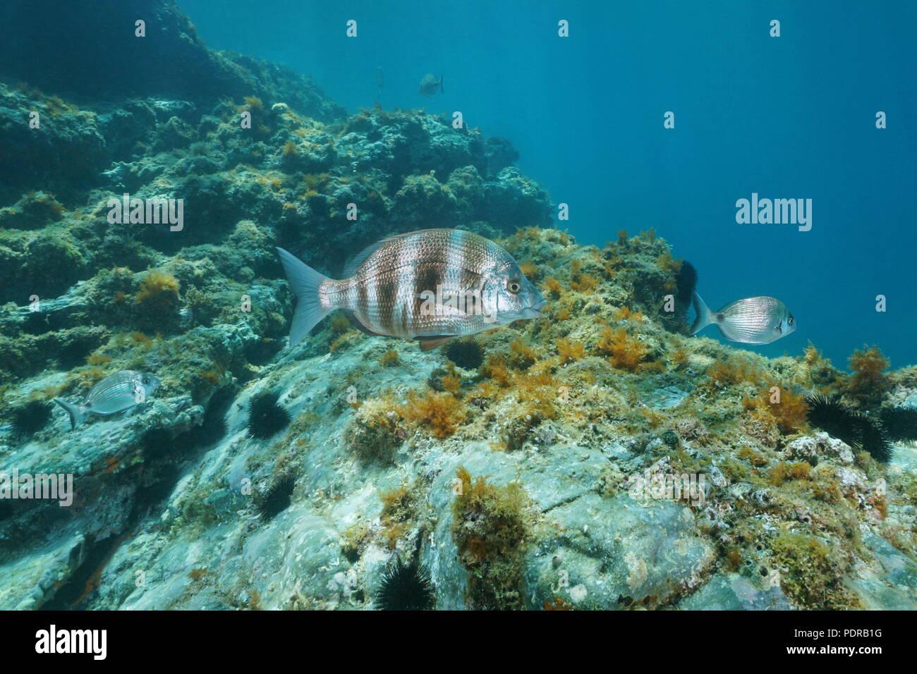 A zebra sea bream fish, Diplodus cervinus underwater in the Mediterranean sea, Pyrenees-Orientales, Roussillon, France Stock Photo