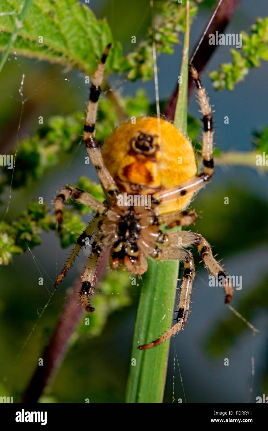 four-spot orb-weaver, spinneret, Araneus quadratus - Stock Image