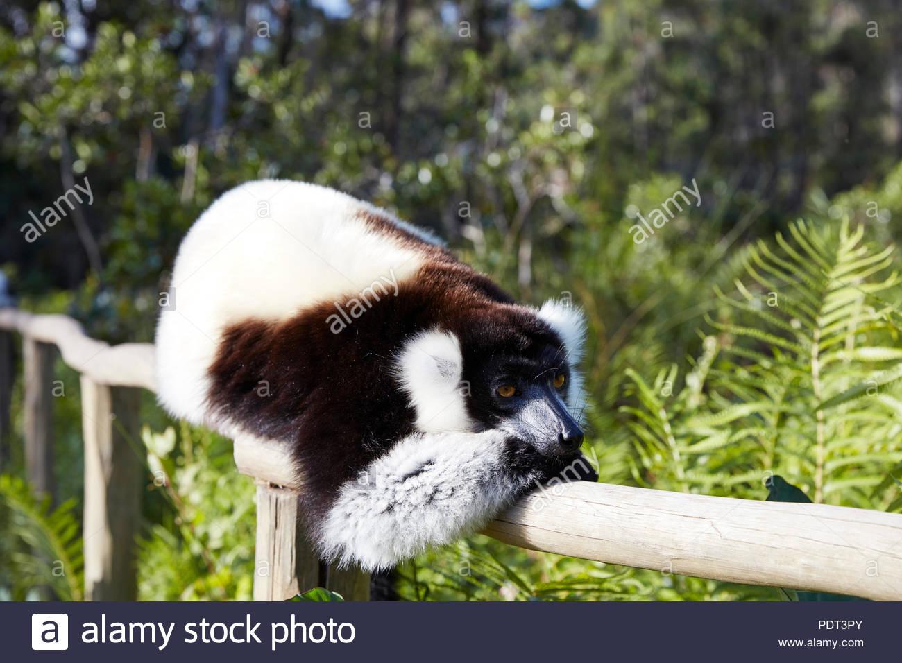 Lemur Madagaskar - Stock Image