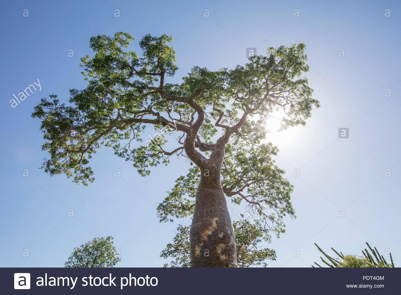 Baobab - Stock Image