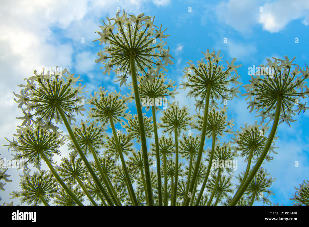 Looking up from underneath giant daisies - Stock Image
