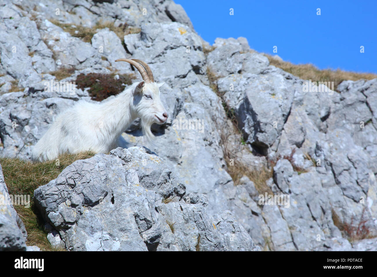 A wild Kashmiri Goat roaming free on the Great Orme in Llandudno,North Wales - Stock Image