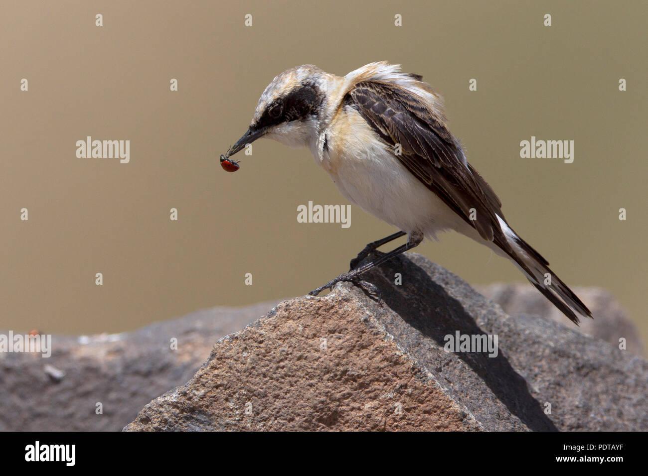 Oostelijke Blonde Tapuit op rots met gevangen Lieveheersbeestje. Eastern Black-eared Wheatear on a rock with Ladybug as prey. Stock Photo